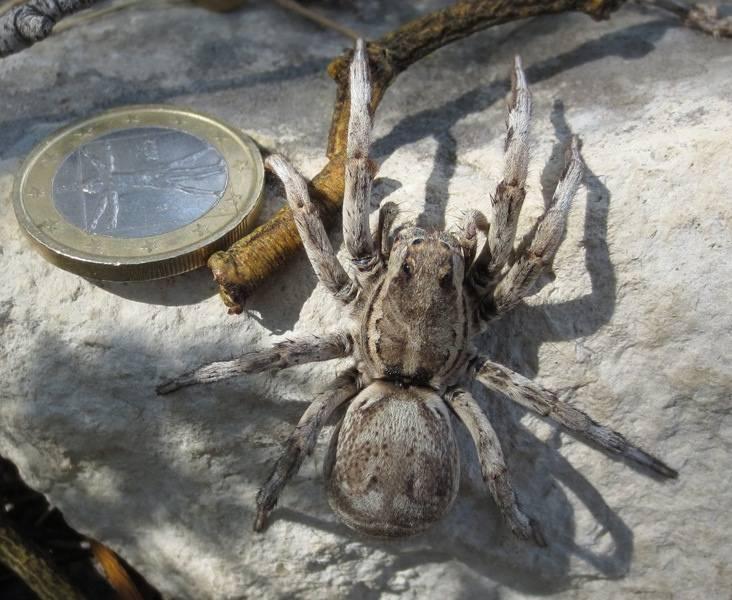Испанский тарантул фото