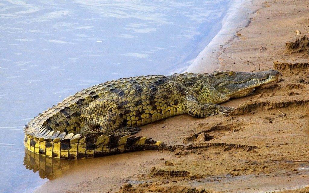 Как выглядит крокодил фото