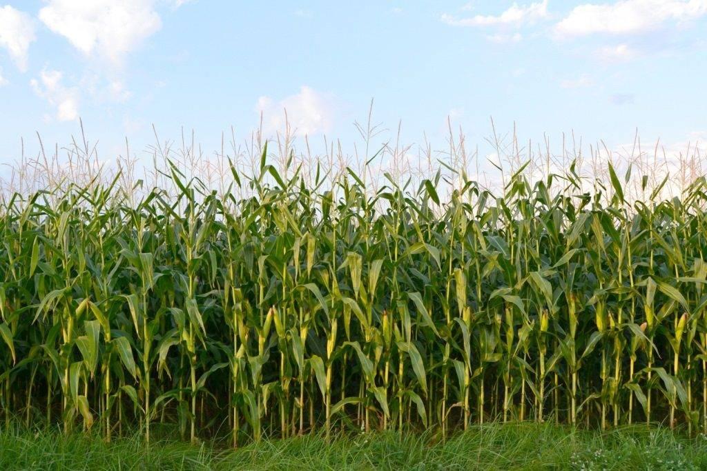 Как растет кукуруза фото