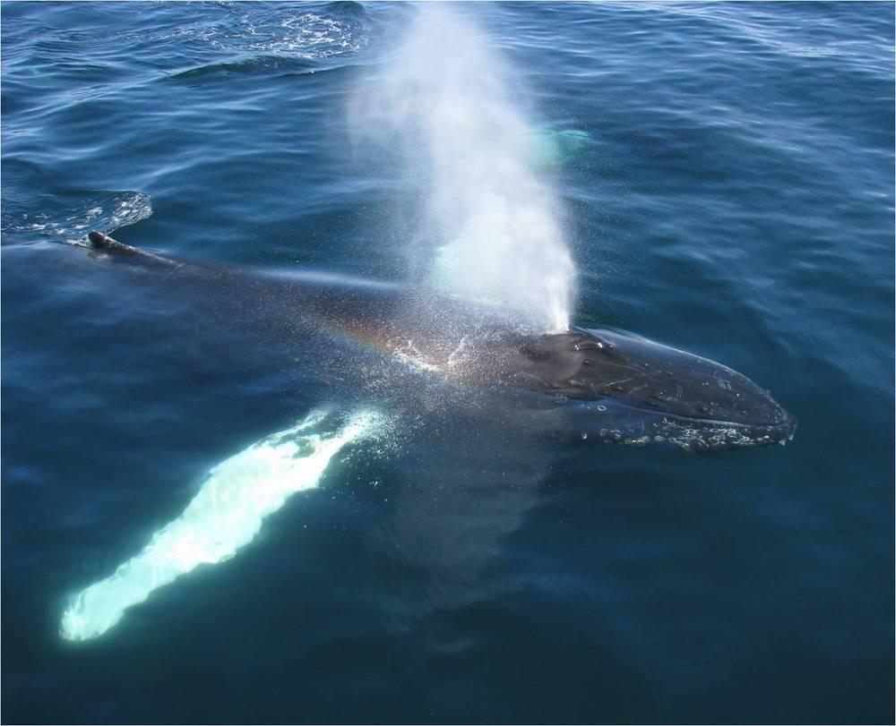 сеть кит пускающий фонтаны картинка кал