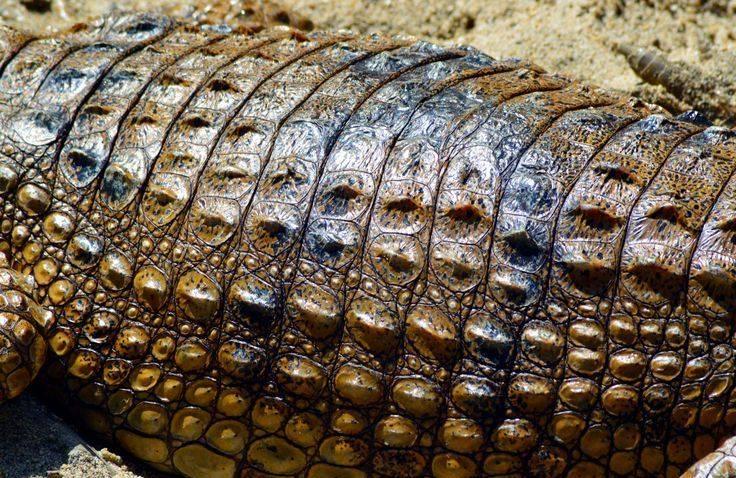 Кожа крокодила фото
