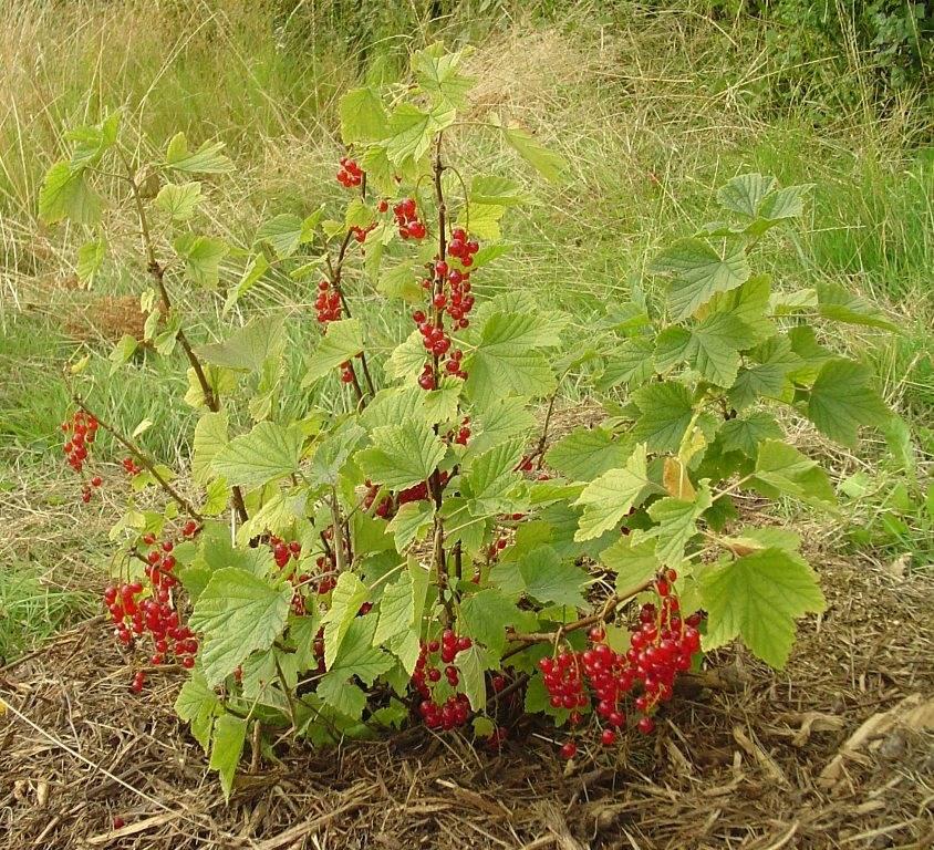 Красная смородина (обыкновенная, садовая смородина) (лат. Ribes rubrum)