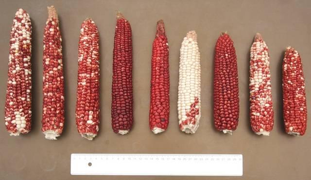Крахмалистая (мучнистая) кукуруза (лат. Zea mays amylacea)