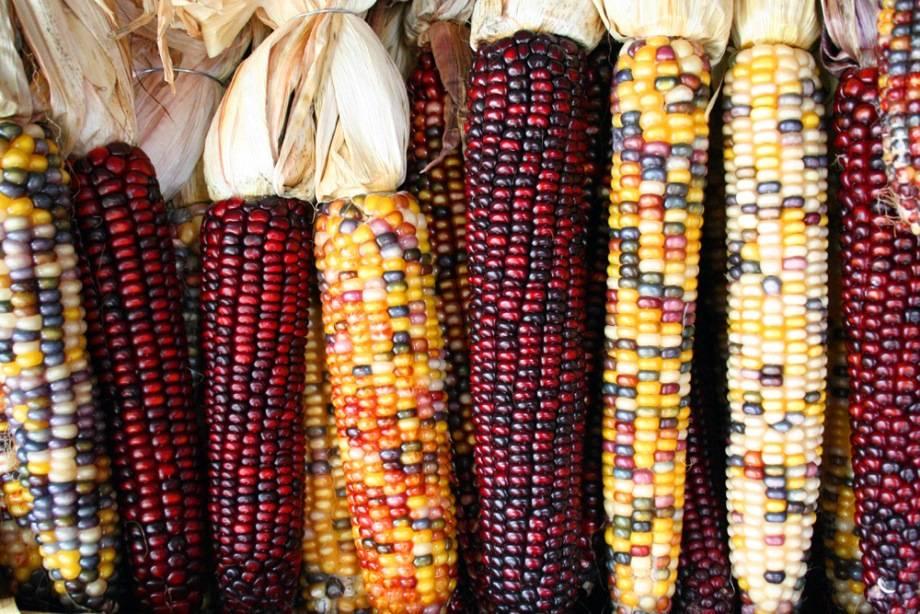 Кремнистая кукуруза (индийская кукуруза) фото (лат. Zea mays indurata)