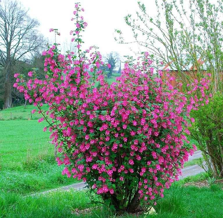 Кроваво-красная смородина (лат. Ribes sanguineum)