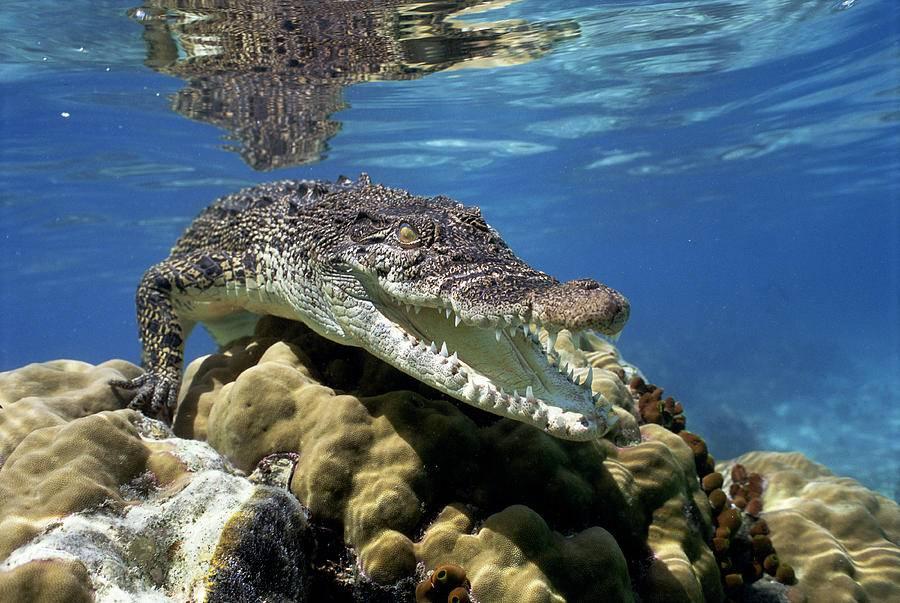 Крокодил в море