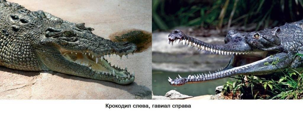 Крокодил и гавиал фото