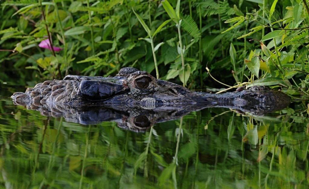 Крокодил плывет в реке