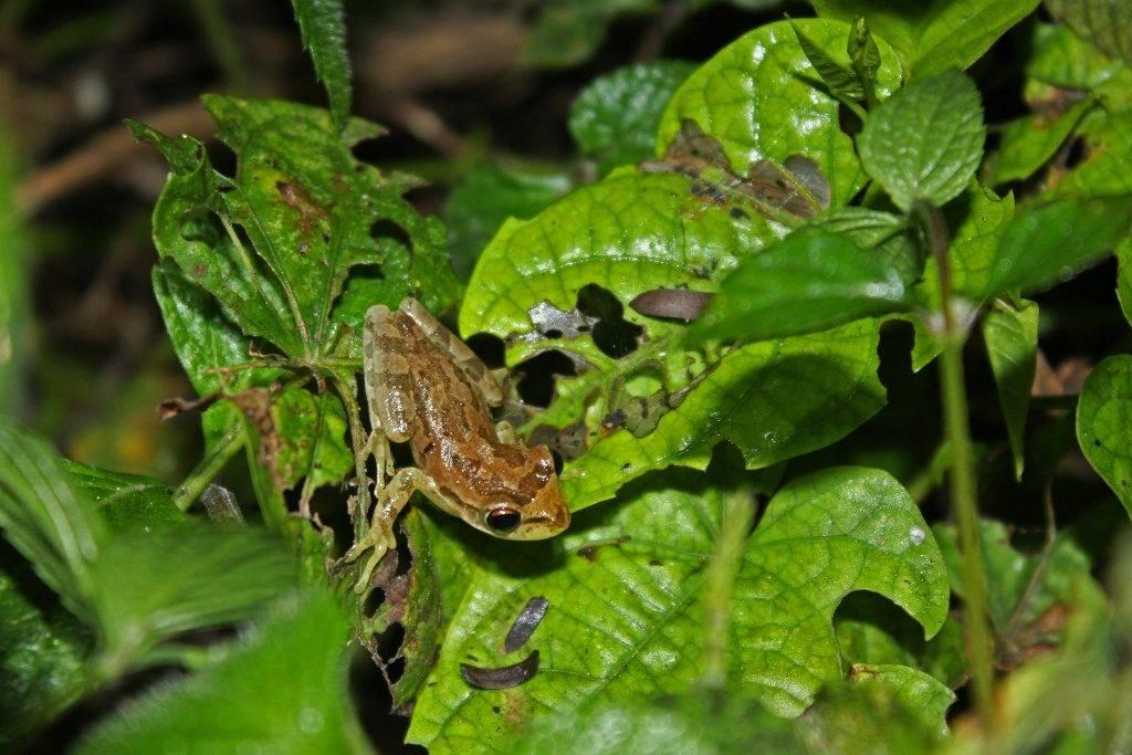 Кубинская квакша (лат. Osteopilus septentrionalis)
