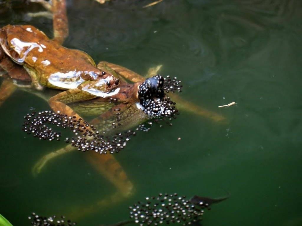 Кубинская лягушка откладывает икру