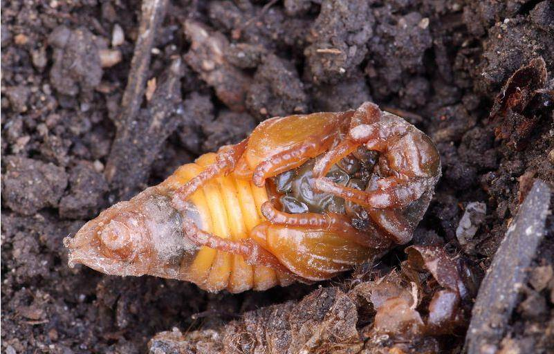 Куколка майского жука фото