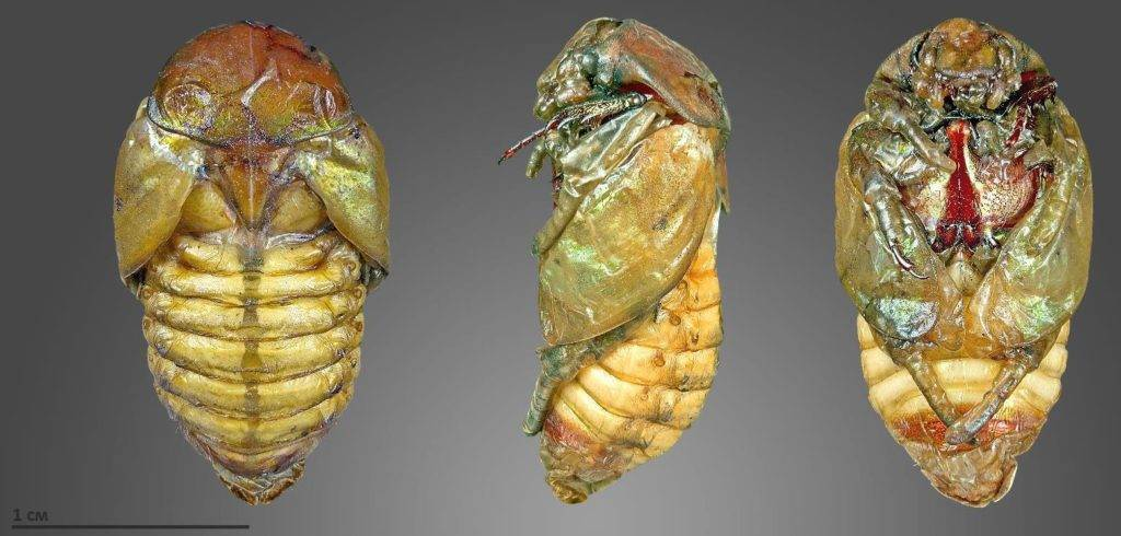 Куколки жуков фото