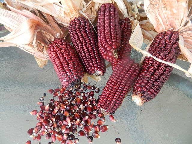 Кукуруза – полезные свойства