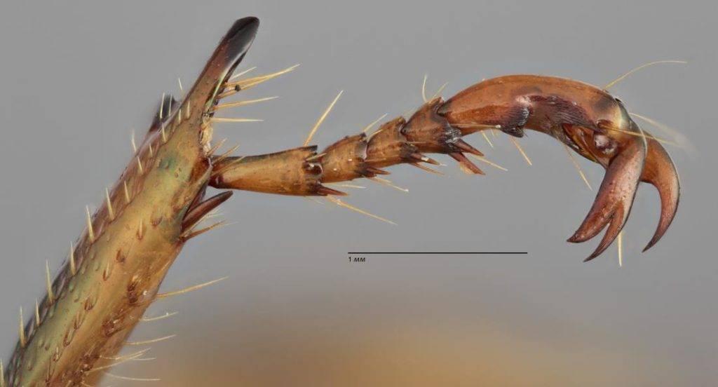 Лапка жука фото