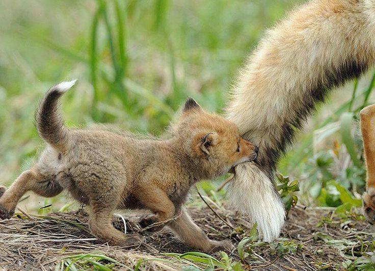 Лисенок бежит за мамой