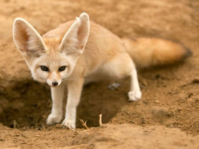Лисица с большими ушами (фенек)