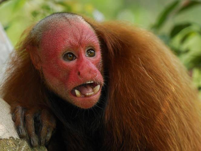 Лысая обезьяна фото