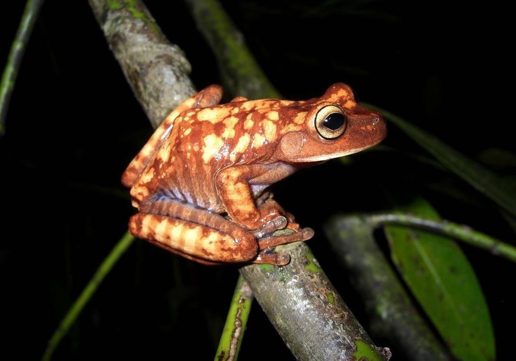 Лягушка древесница Bokermannohyla circumdata