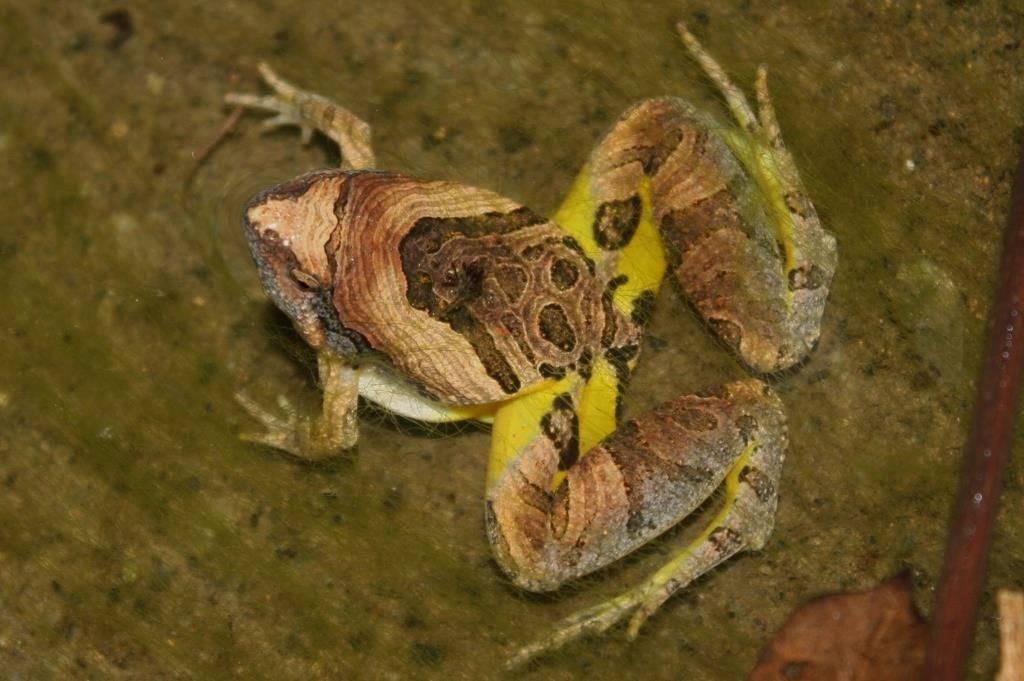 Лягушка квакша фото (вид Microhyla pulchra)