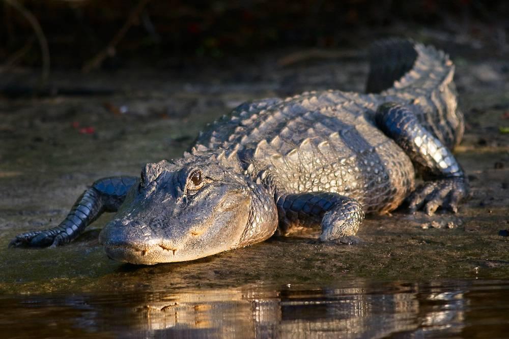 Миссисипский аллигатор (американский аллигатор) (лат. Alligator mississippiensis)