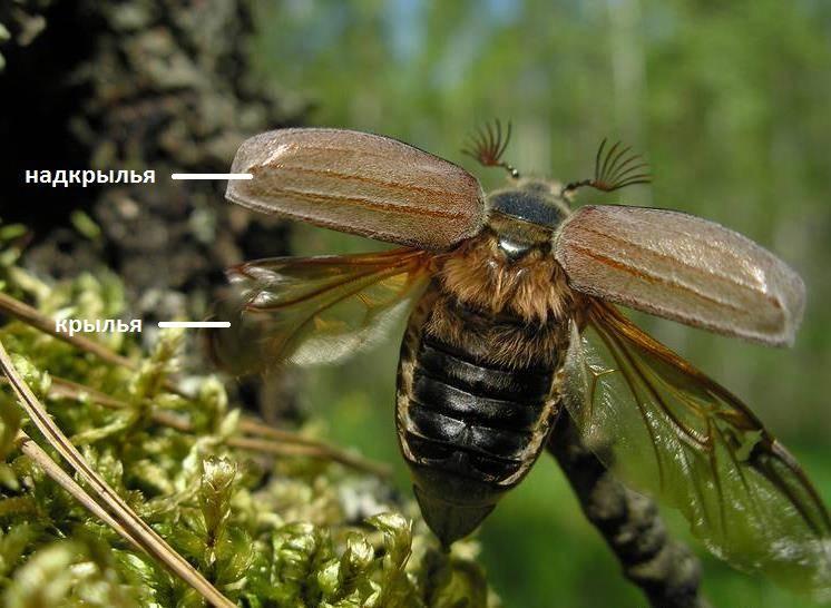 Надкрылья и крылья жука фото