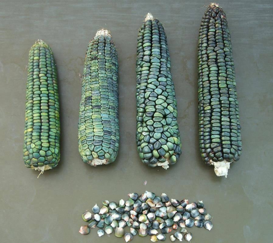 Оахаканская зеленая кукуруза