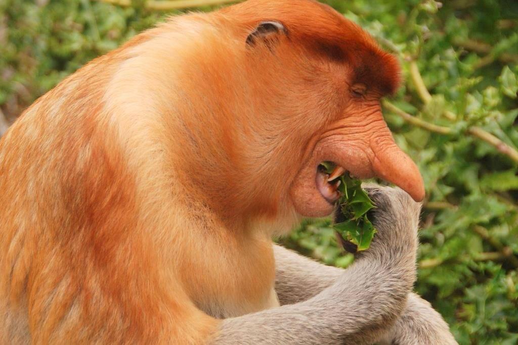 Обезьяна носач кушает листья с дерева