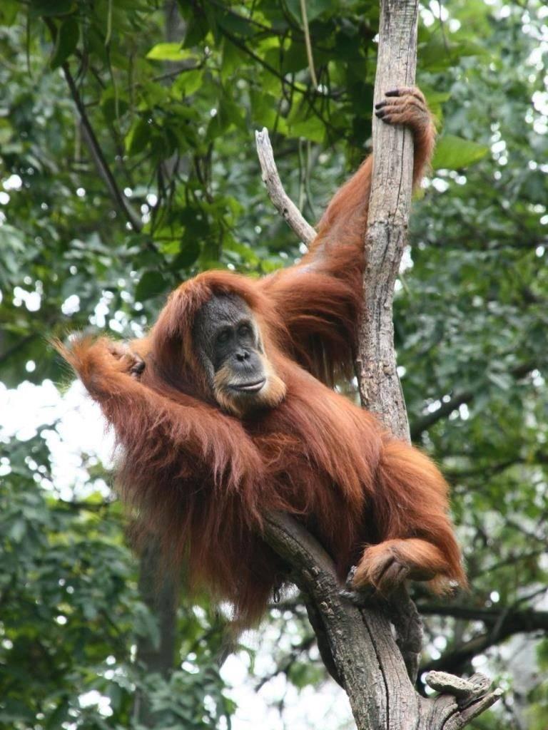 Обезьяна орангутан фото