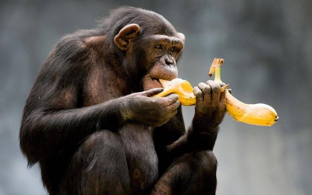 Обезьяна сидит и ест банан