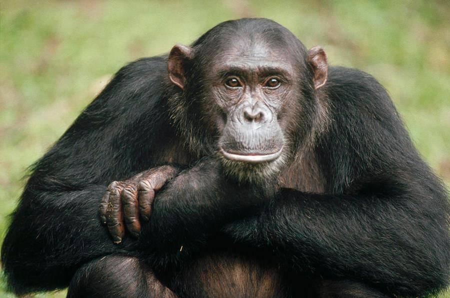 Обыкновенный шимпанзе фото (лат. Pan troglodytes)