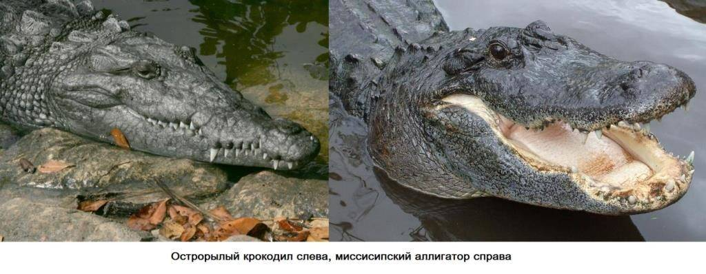 Отличие крокодила от аллигатора