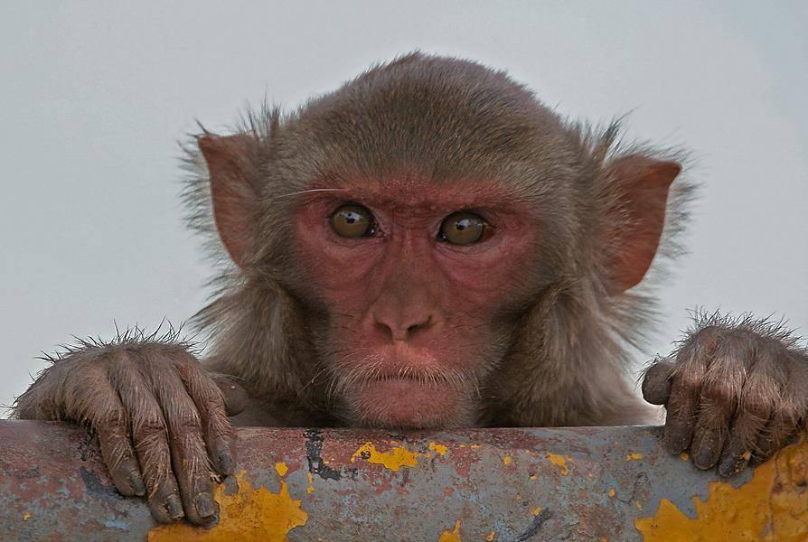 Пальцы обезьян фото