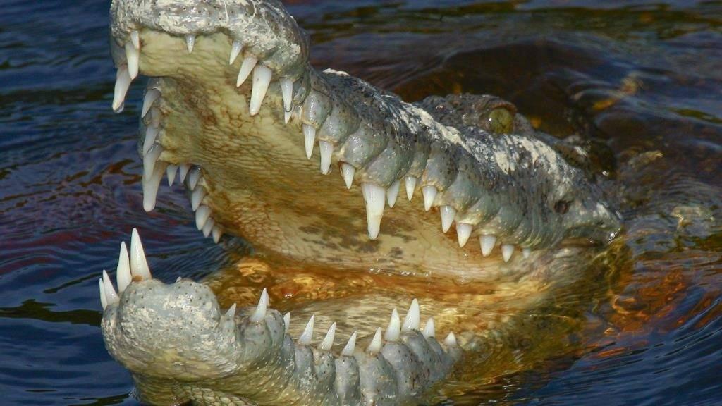 Пасть крокодила фото