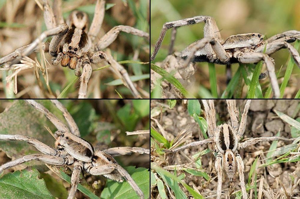 Паук тарантул Lycosa coelestis