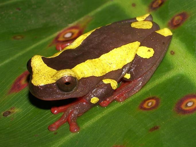 Пегая квакша (лат. Dendropsophus leucophyllatus)