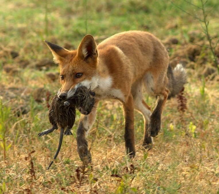 Пища лисы