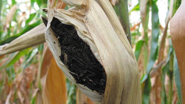 Пыльная головня кукурузы фото