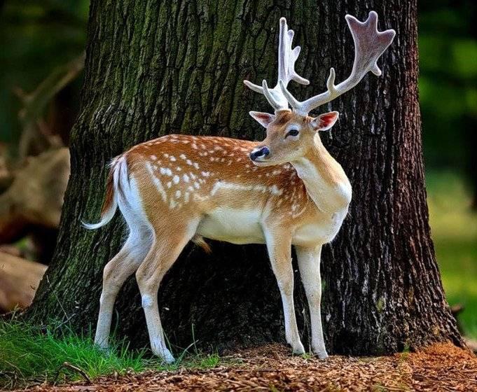 Пятнистый олень (лат. Cervus nippon)