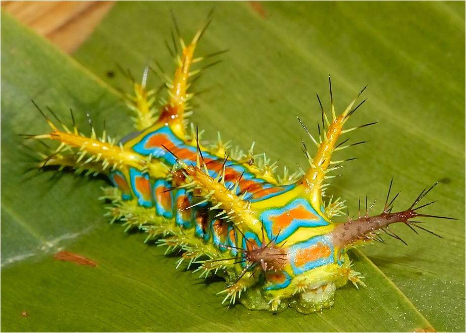 Разноцветная гусеница одного из вида павлиноглазок (лат. Calcarifera ordinata)