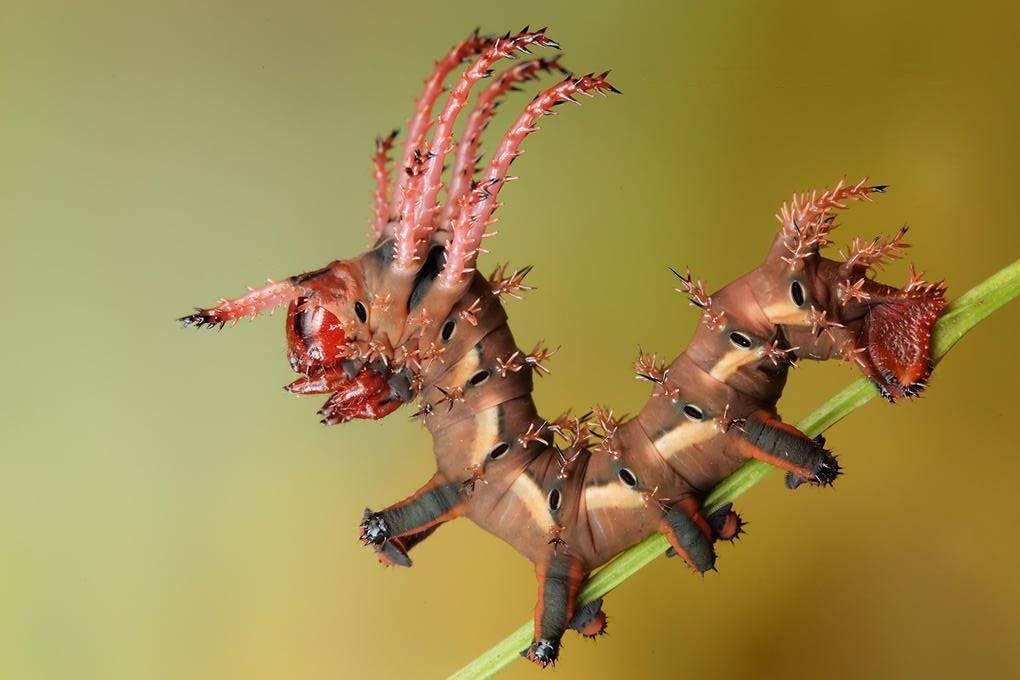Розовая гусеница цитерония королевская, похожая на дракона (лат. Citheronia regalis)