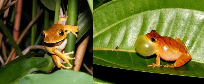 Самая маленькая древесная лягушка в мире Hyla emrichi (Dendropsophus minutus)