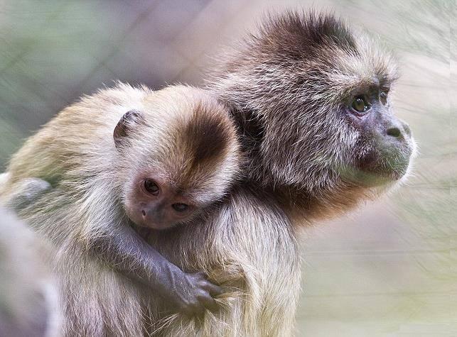 Самка обезьяны и детеныш фото