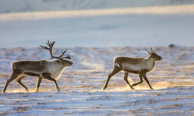 Самка северного оленя (важенка) справа и самец слева фото