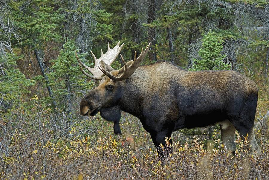 Самый большой олень в мире (лось)