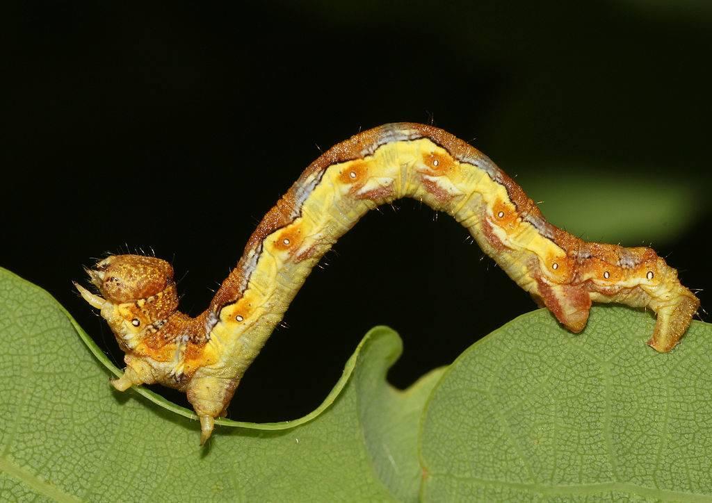 Сколько ног у гусеницы