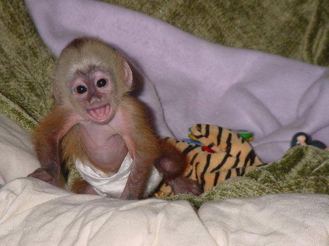 Содержание обезьян в домашних условиях