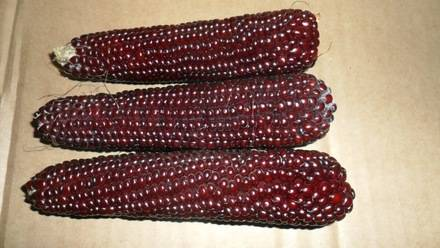 Сорт кукурузы Красная стрела