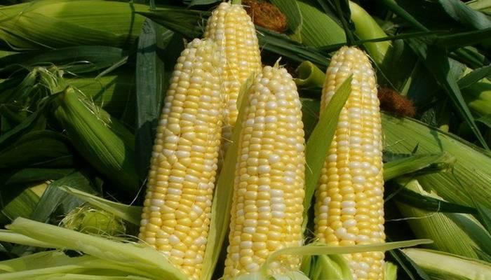 Сорт кукурузы Краснодарский сахарный 250