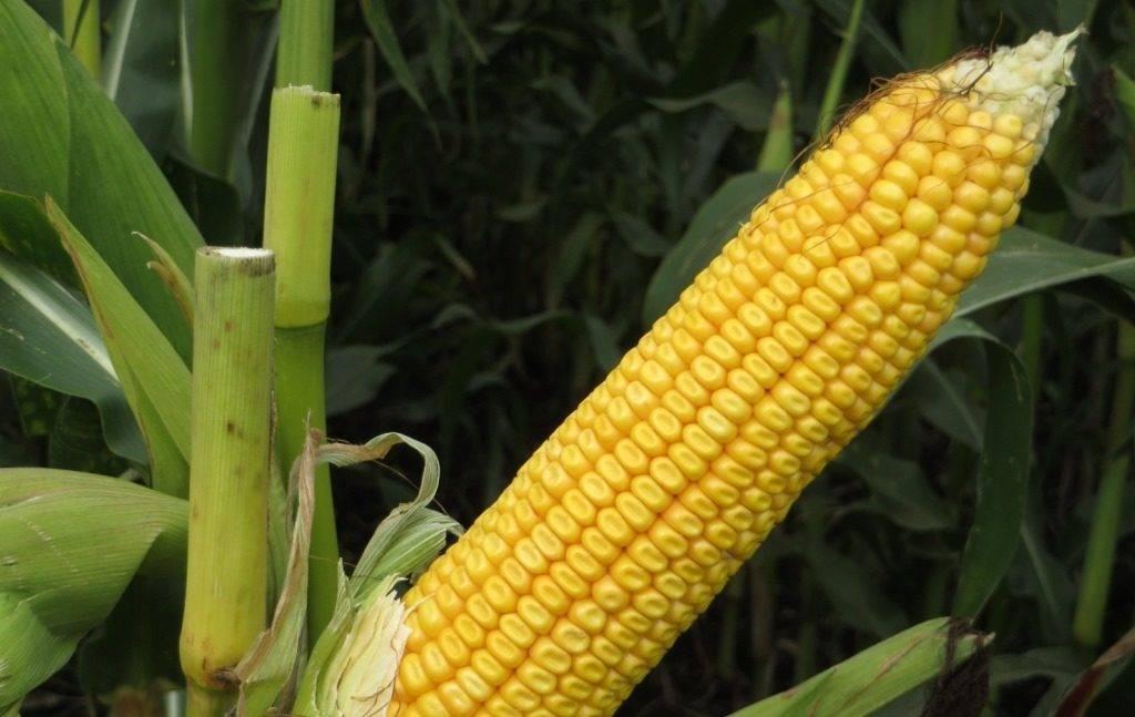 Сорт кукурузы Родник 179 СВ