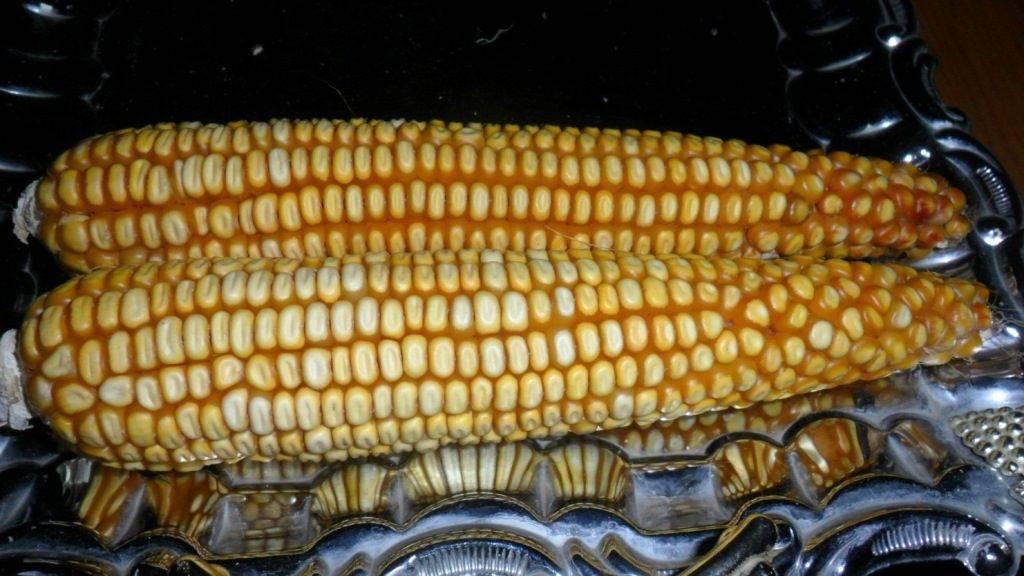 Сорт кукурузы Mays Concho